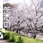 2019年茨木さくらまつりは3月30日から!過去の茨木のさくら写真も